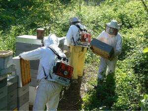 La cattura delle api