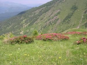RHODODENDRON FERRUGINEUM L. - Rododendro rosso