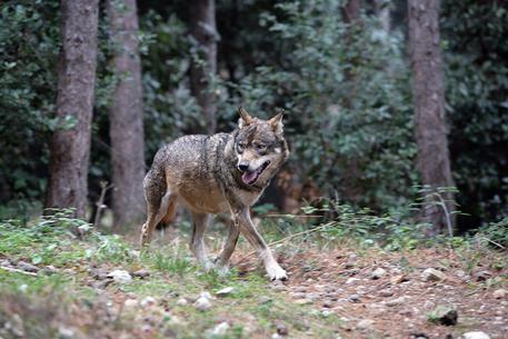 19 gennaio – Sulle tracce del lupo in Val Tanarello