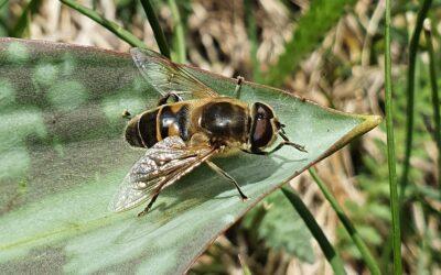 Progetto Alcotra BIODIV'ALP GEBIODIV – Avviato nel Parco il monitoraggio dei Sirfidi, importanti insetti impollinatori